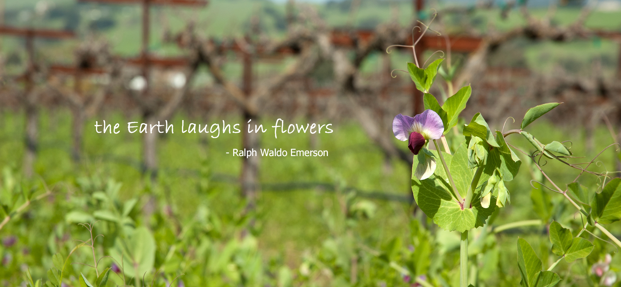 Spring Flowers in the Vineyard